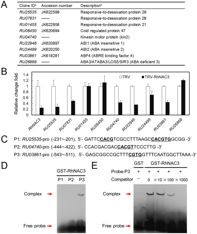 ABA-related gene expression in RhNAC3 -silenced rose petals. A , The putative ABA signaling and downstream rose genes from the ABA-signaling pathway in rose. a, The clone ID from the rose transcriptome database [7] . b, Description of the A. thaliana homolog given by The Arabidopsis Information Resource (TAIR, <t>http://www.arabidopsis.org</t> ). B , qRT-PCR analysis of RhNAC3 -silenced rose petals. The rose cDNAs of TRV and RhNAC3 -silenced (TRV- RhNAC3 ) petals were described in our previous report [26] . Data represent the fold change of each gene by TRV- RhNAC3 relative to the TRV control. RhUbi1 was used as the internal control. Error bars indicate SE ( n = 3). C , Sequences and positions of putative RhNAC3 binding elements used for the EMSA. Probes were derived from the regulatory sequence of three selected ABA-related rose genes. Underlined letters indicate the core sequences of putative NAC protein-binding sites. The sense strands of oligonucleotide probes corresponding to the predicted RhNAC3 binding sites are shown. D , DNA-binding specificity for RhNAC3 with the probes indicated in C . The arrows indicate the positions of protein/DNA complexes and the free probes, respectively. Purified protein (2 µg) was incubated with 0.2 pmol of biotin probe. E , DNA-binding specificity for RhNAC3 with RU03861 . The RU03861 (P3) probe incubated with <t>GST</t> was used as a control, and a 10, 100, and 1000 fold excess of the unlabeled P3 was used for competitive binding.