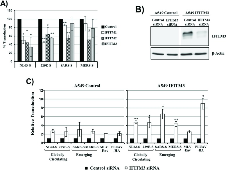 Inhibition of S protein-driven cell entry by IFITM proteins. ( A ) 293T cells, transfected to express the viral receptors and transduced to express IFITM1, 2, 3, or cat as control, were transduced with infectivity-normalized retroviral vectors bearing the S proteins of the globally circulating human coronaviruses NL63 and 229E as well as the S proteins of the emerging SARS- and MERS-CoV. Transduction efficiency was determined at 72 h post inoculation by measuring luciferase activity in cell lysates. Transduction of control cells was set as 100%. The average of three independent experiments carried out with triplicate samples is shown, error bars indicate SEM. Statistical significance was calculated using one tailed, paired t -test. * p ≤ 0.05; ** p ≤ 0.01; ( B ) A549 wild type cells (control) and A549 cells transduced to stably express IFITM3 were transfected with siRNA directed against IFITM3. Scrambled siRNA were used as a control. Knockdown of IFITM3 expression was analyzed by Western blot. Detection of β-actin served as a loading control; ( C ) A549 control cells or A549-IFITM3 cells were transfected with siRNA directed against IFITM3 or scrambled siRNA as control. Cells were then transduced with the retroviral vectors described in (A). Transduction efficiency was analyzed at 72 h post transduction. Transduction of cells transfected with the scrambled siRNA was set as 1. The average of three independent experiments performed with triplicate samples is shown; error bars indicate SEM. The Welch-Test for independent samples was used to determine whether the effects of the siRNAs on transduction of A549 control and A549-IFITM3 cells were significantly different. * p ≤ 0.05; ** p ≤ 0.01.