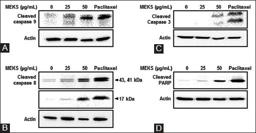 Effects of MEKS on the activations of apoptosis-related proteins. MDA-MB-231 cells were treated with 0, 25, or 50 μg/ml of MEKS for 4 h or 30 nM paclitaxel for 24 h (positive control). Protein expressions of cleaved caspase 3 (C), 8 (B) and 9 (A), cleaved PARP (D) and <t>beta-actin</t> (the loading control) were detected by Western blotting