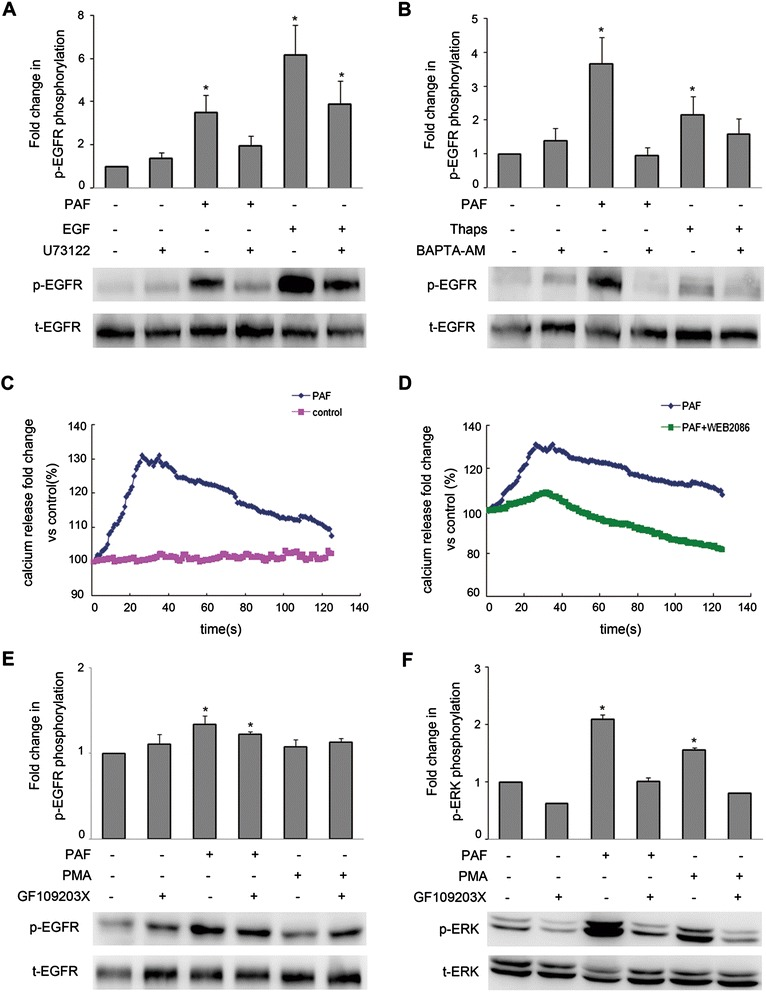 Role of Ca 2+ and PKC in responses to PAF in SKOV-3 cells. (A) SKOV-3 cells were pretreated for 1 h with the PLCβ inhibitor U73122 (20 μM) before stimulation with PAF (100 nM) or EGF (5 ng/ml) for 5 min. (B) SKOV-3 cells were pretreated for 1 h with the Ca 2+ chelator BAPTA-AM (20 μM) before stimulation with PAF (100 nM) or thapsigargin (1 μM) for 5 min. (C) SKOV-3 cells were loaded with the calcium probe Fura-2/AM followed by stimulation with 100 nM PAF. (D) SKOV-3 cells were loaded with the calcium probe Fura-2/AM followed by stimulation with 100 nM PAF in the presence or absence of WEB2086, calcium mobilization was assayed by monitoring the change in Fura-2/AM fluorescence. (E and F) SKOV-3 cells were pretreated for 1 h with the PKC inhibitor GF109203X (5 μM) before stimulation with PAF (100 nM) or PMA (1 μM) for 5 min. Cells were then harvested and subjected to Western blot analysis. The data shown are representative of at least three independent experiments. Data were analyzed by Student's t -test. * p