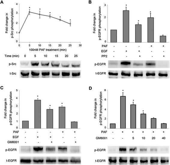 Effect of Src and MMP inhibitors on EGFR phosphorylation. (A) SKOV-3 cells were treated with 100 nM PAF for 0, 5, 10, 15, 20, or 25 min. Following PAF treatment, cells were lysed and lysates were evaluated by Western blotting. Data were normalized to total Src protein expression and are expressed as the fold change (average ± S.E.M.) in phospho-Src compared to vehicle-treated cells. Representative blots for phosphor/total-EGFR are shown. (B) SKOV-3 cells were treated with the Src inhibitor PP2 (20 μM) for 1 hour before stimulation with PAF (100 nM) or EGF (5 ng/ml) for 5 min. Cells were harvested and subjected to Western blot. (C) SKOV-3 cells were pretreated for 1 h with the metalloproteinase inhibitor GM6001 (20 μM). Cells were then stimulated with either PAF (100 nM) or EGF (5 ng/ml) for 5 min before they were harvested and immunoblotting. (D) SKOV-3 cells were pretreated for 1 h with increasing concentrations of the metalloproteinase inhibitor GM6001 before they were harvested and subjected to Western blot. The data shown are representative of at least three independent experiments. Data were analyzed by Student's t -test. * p