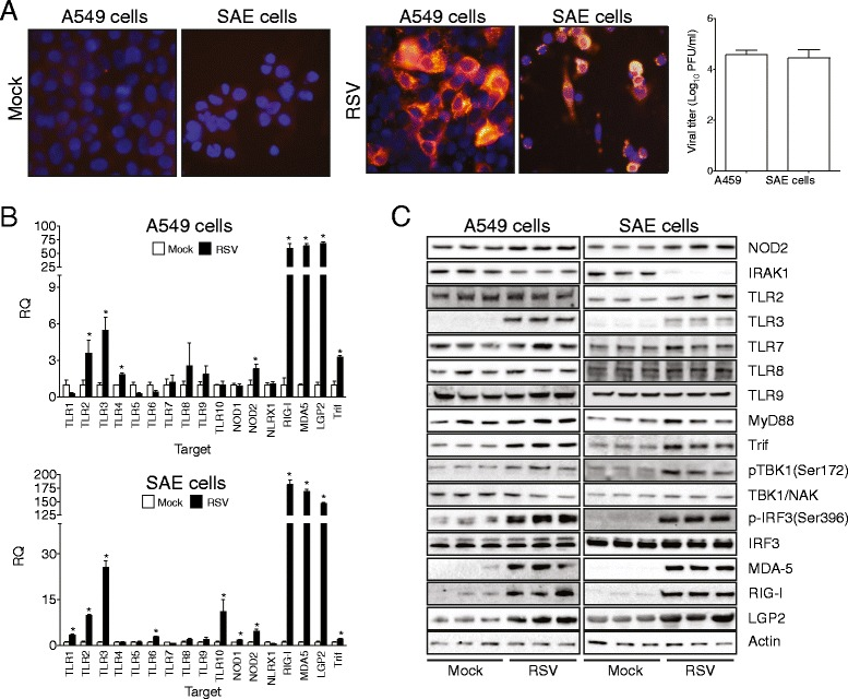 RSV induces multiple pathogen recognition receptors in A549 and SAE cells. (A) Representative immunofluorescence staining of SAE and A549 cells treated with mock or RSV and stained 24 hours later with RSV F-specific monoclonal antibody. Cell lysates were examined for viable viruses by plaque assays. (B) qPCR and (C) immunblots were performed to examine levels of pathogen recognition receptors and downstream signaling in cells 1-day post RSV infection. Graphs are represented as (B) PFU (Log 10 ) or (C) RQ of the mean ± S.E.M, where n = 10 replicates/group and each assay was performed in triplicate. Each experiment was performed on samples obtained from 3 experiments from separate days. *Represents a p value less than 0.05 compared to mock treated mice.