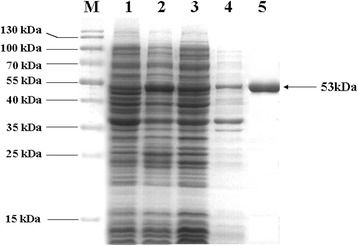 Analysis of rMsEno expression and purification using SDS-PAGE followed by Coomassie blue staining. M: PageRuler™ Prestained Protein Ladder (SM0671, Fermentas). Lane 1: Total cellular proteins of E. coli BL21 (DE3) cells transformed by pET-28a (+). Lane 2: Total cellular proteins of E. coli BL21 (DE3) cells transformed by pET-Eno. Lane 3: Supernatant of lysate of E. coli BL21 (DE3) cells transformed by pET-Eno. Lane 4: Sediment of lysate of E. coli BL21 (DE3) cells transformed by pET-Eno. Lane 5: Purified recombinant protein.