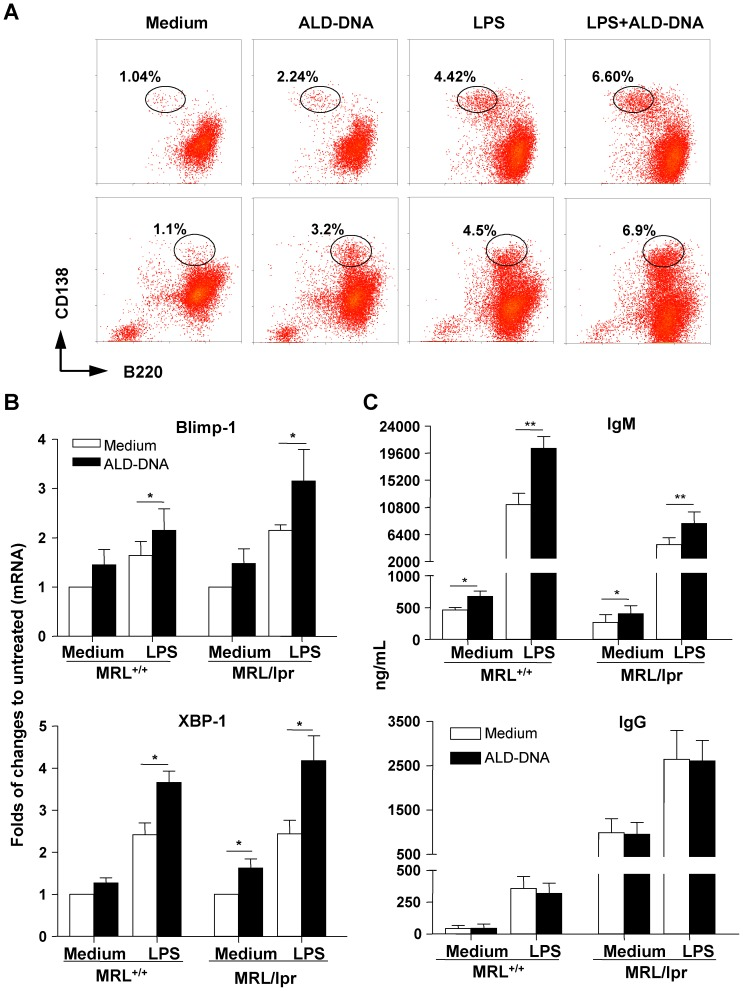 Promotion of plasma cell differentiation and Ig production in lupus B cells by <t>ALD-DNA.</t> Splenic B cells from 16- to 20-week-old MRL/lpr mice and 12-week-old MRL +/+ mice were cultured in media alone, or in the presence of ALD-DNA (50 µg/ml), LPS (100 ng/ml), or both for different periods as indicated below. ( A ) After 72 h stimulation, viable cells were analyzed for B220 and CD138 surface expression by flow cytometry. Representative dot plots showed the frequencies of plasmablasts (B220 + CD138 hi , lower panels, MRL/lpr, n = 6) or plasma cells (B220 − CD138 + , upper panels, MRL +/+ , n = 6) generated after each treatment. ( B ) Expression of Blimp-1 and XBP1 mRNA from lupus B cells cultured for 96 h was examined by real-time PCR. Results are expressed as the fold induction of gene transcription relative to their untreated controls (means ±SEM, n = 6). ( C ) Ig production in cell culture supernatants harvested on day 6 was determined by ELISA. Bars represent the means ±SEM of three independent experiments (n = 6). * P