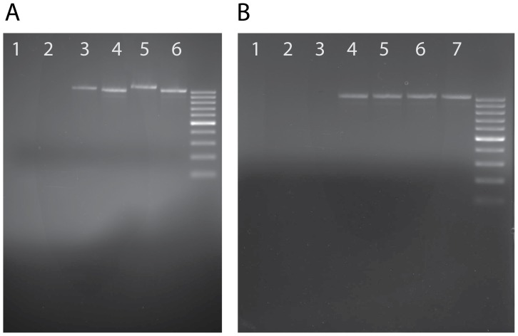 Gels displaying PCR amplification of HTS in Bombyx mori . Gels were ethidium bromide stained and run with a 100 bp ladder (brighter bands at 500 bp and 1000 bp). Primers used are shown in fig 3 . As a further test, additional PCR reactions were run with alternative primers for each HTS with the same results (see Figure S2 ). A ) PCR results showing amplification of a product spanning the junction of the transferred wasp DNA and native Bombyx sequence. Lanes 2, 4, and 6 have primers targeting PDV32 (expected band size: 1037) and lanes 1, 3, and 5 have primers targeting PDV101(expected band size 1090). Lanes 5 and 6 use Bombyx mori strain 418(Chinese), lanes 3 and 4 Bombyx mori strain 214(Japanese), lanes 1 and 2 wild type Drosophila melanogaster as a negative control. B ) We tested the same primer set above targeting PDV32 against a diverse panel of insect genomic DNA (all lanes tested with the same primers). DNA used in the reactions was as follows. Lane 1: Chlosyne lacinia (Lepidoptera). Lane 2: Apis mellifera (honeybee, Hymenoptera). Lane 3: wild type Drosophila melanogaster (Diptera). Lane 4: Bombyx mori strain 555 (European). Lane 5: Bombyx mori strain Nistari (Indian). Lane 6: Bombyx mori strain 418 (Chinese). Lane 7: Bombyx mori strain 214 (Japanese).