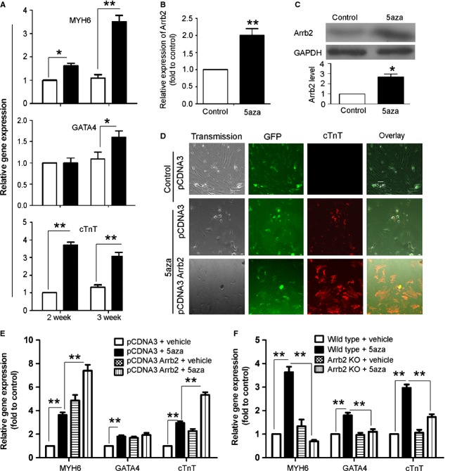 Effect of Arrb2 on 5′-azacytizine-induced differentiation of cardiac stem cells (CSCs) to cardiomyocytes. ( A ) Isolated Sca-1+ cells from wild-type (WT) mice were seeded 1 day before cells were treated with 5′-azacytizine (5aza) at 10 μM. After 3 days' treatment, cell culture medium was changed every 3 days for 2 and 3 weeks. Relative gene expression of cardiomyocyte markers including MYH6, GATA4, and cTnT were detected by RT-PCR. ( B and C ) isolated Sca-1+ cells from wild-type (WT) mice were treated with 5aza at 10 μM for 3 weeks. Arrb2 expression was determined by RT-PCR ( B ) and western blot analysis ( C ). ( D and E ) Sca-1+ cells from WT mice were transfected with full-length Arrb2 or control vector. After 24 hrs, cells were treated with 5aza as in A ; the level of cTnT was detected by fluorescence assay ( D ) and the expression of MYH6, GATA4 and cTnT by RT-PCR ( E ). ( D ) It shows phase-contrast (transmission) and fluorescence images. GFP shows transfected cells; scale bar = 15 μm. ( F ) Sca-1+ cells from WT and Arrb2-knockout (KO) mice were treated with 5aza as in A . Real-time PCR analysis of the mRNA levels of MYH6, GATA4, and cTnT. Data are mean ± SEM of three experiments. * P