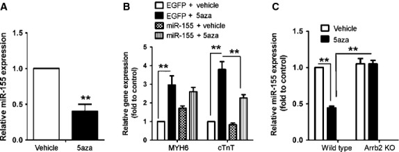 MiR-155 inhibits 5aza-induced differentiation of CSCs into cardiomyocytes through Arrb2. ( A ) RT-PCR analysis of the expression of miR-155 in Sca-1+ cells from WT mice treated as in Figure 1 A. ( B ) Sca-1+ cells from WT mice were transfected with miR-155 plasmid or empty plasmid control. After 24 hrs, cells were treated with 5aza and the expression of MYH6 and cTnT was examined by RT-PCR. ( C ) Sca-1+ cells from WT and Arrb2-KO mice were treated with 5aza and miR-155 expression was examined as in A . Data are mean ± SEM of three experiments. ** P
