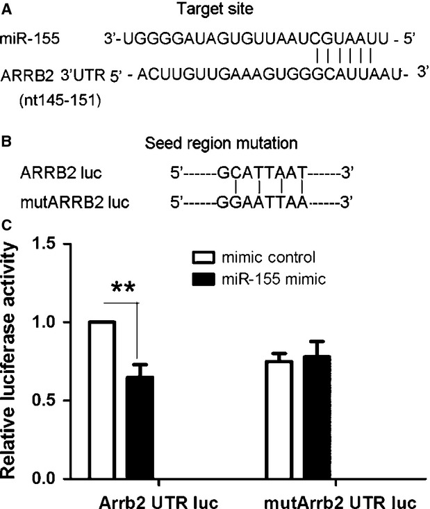 Arrb2 is a miR-155 target. ( A ) Sequence alignment of miR-155 and its target site in the 3′-UTR of Arrb2 (downloaded from http://www.targetscan.org ). ( B ) The seed region of Arrb2 3′-UTR was mutated as indicated. ( C ) HEK293T cells were cotransfected with 60 ng miR-155 plasmid or empty EGFP plasmid control and 0.1 μg psicheck2 3′-UTR-WT (WT Arrb2) or psicheck2 3′-UTR-MUT (mutant miR-155 target site in Arrb2 3′-UTR). Cells were collected 48 hrs after transfection and analysed by dual luciferase reporter assay. The psicheck2 vector that provided the constitutive expression of Renilla luciferase was cotransfected as an internal control. Data are mean ± SEM of four experiments. ** P