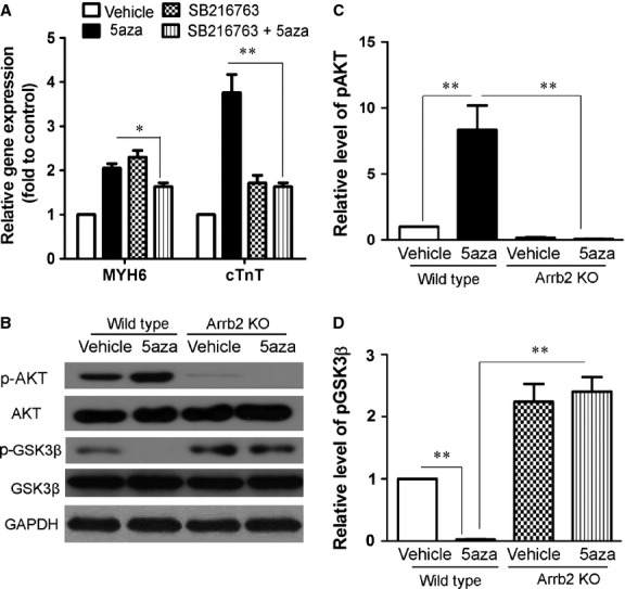 GSK3β is involved in 5aza-induced differentiation of CSCs to cardiomyocytes. ( A ) Sca-1+ cells from WT mice were treated with 5aza as in Figure 1 A and incubated with or without SB216763 at 10 μM for the first 3 days. The mRNA expression of MYH6 and cTnT was analysed by RT-PCR analysis. ( B ) Sca-1+ cells from WT and Arrb2-KO mice were treated with 5aza as in Figure 1 A. The expression of total and phosphorylated Akt (p-Akt), total and p-GSK3β were analysed by western blot. ( C ) Quantification of p-Akt levels shown in B . protein level were normalized to AKT. ( D ) Quantification of p-GSK3β levels shown in B . protein level were normalized to GSK3β. Data are mean ± SEM of four experiments. * P
