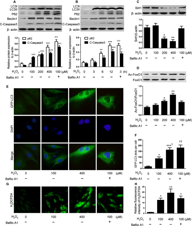 H 2 O 2 -induced oxidative stress impairs autophagic flux and decreases SIRT1 activity in H9C2 cells. H9C2 cells were treated with concentrations of H 2 O 2 for 12 hrs with or without <t>bafilomycin</t> A1 (Bafilo A1; 100 nM). Western blot analysis of protein levels of p62, cleaved caspase 3 (C-Caspase3) ( A ), SIRT1 ( C ), Ac-FOXO1, and total FOXO1 ( D ). Data are mean ± SEM. * P