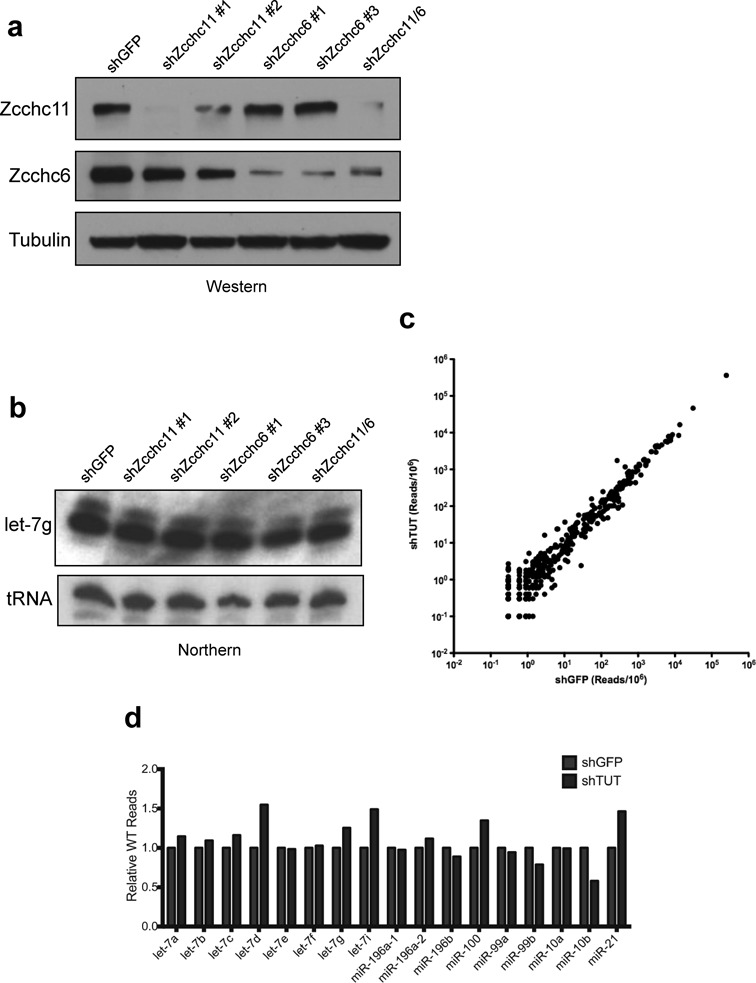 TUTase depletion does not affect miRNA levels. ( a ) Western blot analysis of <t>Lentivirus-mediated</t> knockdown of Zcchc11 and Zcchc6 in Hela cells. ( b ) Mature miRNA northern blot of let-7g levels in the indicated transduced Hela cell lines. Valyl tRNA serves as a loading control. ( c ) Total small RNA from shGFP and shZcchc6/shZcchc11 (shTUT) Hela cells was purified and cloned before sequencing. Each point represents a single miRNA species, and axes are scaled to reads/million (RPM). R 2 > 0.99. ( d ) The relative number of reads for WT (i.e. non-modified) motif-containing miRNAs is unchanged after TUTase depletion.