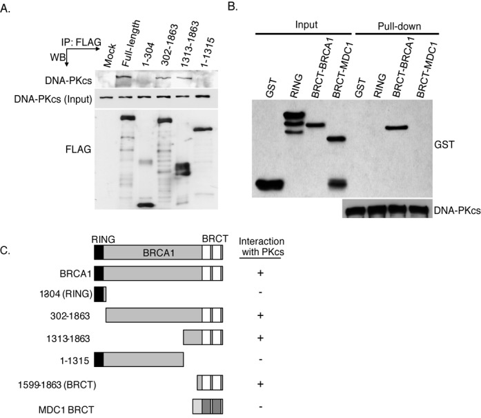 DNA-PKcs interacts with the tandem BRCT domain of BRCA1.  (A)  FLAG-tagged fragments of BRCA1 were transiently expressed in HeLa cells and subsequently IPed using an antiserum specific for the FLAG-tag. The immunoprecipitates were analyzed by western blot analysis using anti-DNA-PKcs or anti-FLAG antibodies.  (B)  DNA-PKcs was IP from HeLa cells, washed three times and the IP DNA-PKcs which was still bound to the protein A-sepharose was incubated with purified GST or GST-tagged tandem BRCT domain of BRCA1 or MDC1. The pull-downs were then washed and western blot analysis was performed using antibodies against GST or DNA-PKcs.  (C)  Representation of BRCA1 fragments used in (D and E) and their ability to interact with DNA-PKcs.