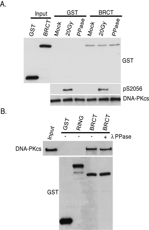 The interaction between DNA-PKcs and the tandem BRCT domain of BRCA1 is phospho-independent.  (A)  Exponentially HeLa cells were mock or irradiated with 20 Gy and allowed to recover for 1 h. DNA-PKcs was IPed, washed three times and the IP DNA-PKcs which was still bound to the protein A-sepharose was incubated with GST or GST-tagged BRCA1 tandem BRCT domain (BRCT) protein fragment in the presence or absence of lambda phosphatase (PPase). The pull-downs were then washed and western blot analysis was performed using antibodies against GST or DNA-PKcs. Antibodies against phosphorylated serine 2056 were used to show IR-induced phosphorylation of DNA-PKcs.  (B)  Purified DNA-PKcs was incubated with GST or GST-tagged protein fragments of BRCA1 encoding the RING finger domain (RING) or the tandem BRCT domain (BRCT) in the presence or absence of lambda phosphatase (PPase). The pull-downs were then washed and western blot analysis was performed using antibodies against GST or DNA-PKcs.