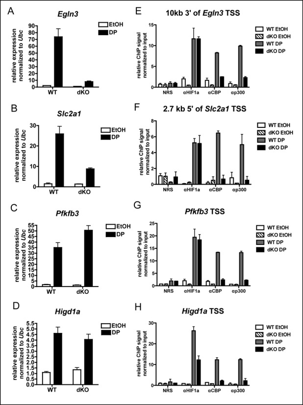Differential HIF1α, CBP or p300 recruitment does not explain variable dependence on CBP and p300 for DP-inducible expression. ( A – D ) qRT-PCR on WT ( n = 2) and CBP Δflox/Δflox ;p300 Δflox/Δflox (dKO, n = 3) MEFs treated for 3 h with DP or ethanol vehicle (EtOH, mean ± SEM). Expression between samples normalized to expression of Ubc . ( E – H ) ChIP using antibodies to proteins indicated (NRS is normal rabbit serum control) at hypoxia response elements located as indicated relative to gene TSS following 2 h treatment with DP. ChIP signals are normalized to the input signal for each sample. ( n = 2, mean ± SEM).