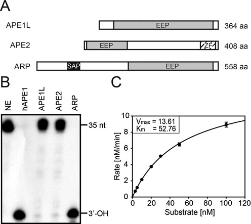 AP site incision assay of APE1L, APE2 and ARP. (A) Schematic representation of APE1L, APE2 and ARP proteins. EEP, endonuclease-exonuclease-phosphatase; SAP, SAF-A/B, Acinus and PIAS; ZF, GRF-type zinc finger motif. (B) AP endonuclease activity on the AP site. Radiolabeled 35-nt double-stranded DNA containing a THF, an AP site analog, at position 18 (F35[AP]) was used as a substrate for AP endonuclease assay. Reactions were done with 5 nM each of MBP-APE1L, -APE2 and -ARP at 37°C for 30 min. As a reaction control, 0.5 unit of hAPE1 was used. AP endonuclease reaction product (17-nt with 3′-OH) is indicated at the right of the panel. NE, no enzyme control. (C) Kinetics analysis of Arabidopsis AP endonucleases. The incision activity of ARP on AP site was measured by reacting purified MBP-ARP (5 nM) with varying concentrations of substrate (0–100 nM) at 37°C for 4 min. Error bars represent standard deviations from three independent experiments.