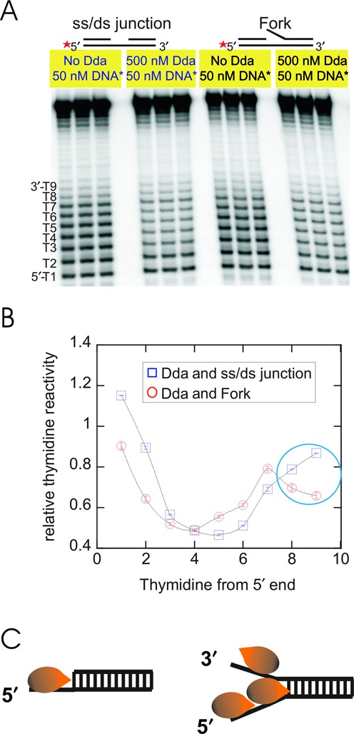 Potassium permanganate (KMnO 4 ) footprinting of DNA in the presence of Dda helicase. (A) DNA sequences are shown in Table 4 . A footprinting gel of an ss/ds junction substrate compared to a forked substrate in the absence and in the presence of Dda. Radiolabeled DNA (50 nM) and Dda (500 nM) were incubated at 25°C for 1 min followed by reaction with KMnO 4 (5 mM) for 5 s. The reaction was quenched using 1M βME and 0.2 M EDTA. After treatment of DNA with piperidine to cleave the DNA, fragments were resolved on a 20% acrylamide, 7M urea gel. Radioactivity was visualized using a PhosphorImager, and the relative thymidine reactivity was determined. (B) Quantitative analysis of the footprinting of ss/ds junction and forked DNA substrates. The intensity of the thymidine reactivity in each band is expressed as a fraction of the total amount of radioactivity present in the reaction. The relative thymidine reactivity is obtained by dividing the reactivity in the presence of Dda by the reactivity in the absence of Dda. The numbered thymidines in panel A correspond to the numbers in Table 4 and are plotted in the graph. Data are from three separate experiments and the standard deviations are shown (error bars are within the points). (C) Cartoon depicting the species present at saturating Dda concentrations.