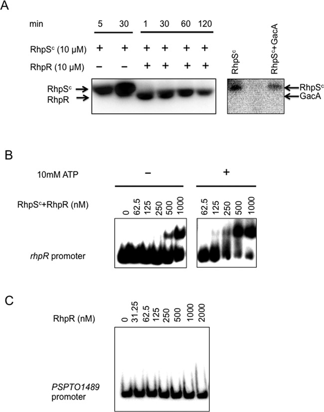 Kinase activity of RhpS C and DNA binding activity of RhpR. ( A ) RhpS C (2 μM) was mixed with [γ- 32 P]-ATP for 30 min before adding RhpR (10 μM) into the reaction mixture for 120 min. Phosphorylated RhpS C was not able to phosphorylate non-cognate GacA over a 30 min period. ( B ) DNA binding activities of unphosphorylated RhpR (left panel) and phosphorylated RhpR (P-RhpR, right panel) to its own promoter are shown. RhpR was pre-mixed with RhpS C in the presence or absence of ATP. Aliquots containing the indicated amount of RhpR protein were mixed with 2 ng of a γ- 32 P-end-labeled rhpR promoter fragment in EMSA buffer at room temperature for 30 min before performing a gel shift assay. ( C ) RhpR does not bind to the promoter region of PSPTO_1489.