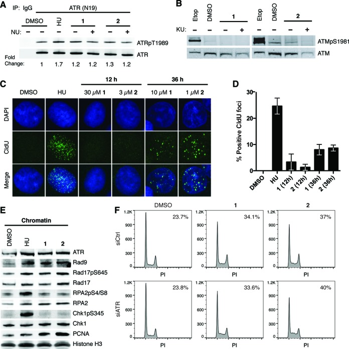 Polyamides induce ATR activation without extensive ssDNA formation. ( A ) Immunoblot of ATRpT1989 and ATR following immunoprecipitation (IP) of ATR in DU145 whole cell lysates treated with 4-mM hydroxyurea (HU) for 2 h, and DMSO, 10-μM polyamide 1 or 1-μM polyamide 2 in the presence or absence of 10-μM NU6027 (NU, ATR inhibitor) for 36 h. ( B ) Immunoblots of ATMpS1981 and ATM after treatment with 30-μM etoposide (Etop) for 30 min, and DMSO, 10-μM polyamide 1 or 1-μM polyamide 2 in the presence or absence of 10-μM KU55933 (KU, ATM inhibitor) for 36 h. ( C ) Representative images of ssDNA formation via CldU immunofluorescence under non-denaturing conditions are shown for cells after treatment with 4-mM HU for 2 h, DMSO, 30-μM polyamide 1 or 3-μM polyamide 2 for 12 h, and 10-μM polyamide 1 or 1-μM polyamide 2 for 36 h. ( D ) Bar graphs of the mean and standard deviation of percent CldU positive cells ( > 10 foci/cell). One hundred and fifty cells over three replicates were counted for each condition. ( E ) Immunoblots of ATR and checkpoint-related factors loaded onto chromatin upon treatment with 10-mM HU for 2 h, and DMSO, 10-μM polyamide 1 or 1-μM polyamide 2 for 36 h. ( F ) DNA histograms of propidium iodide (PI) stained DU145 cells after treatment with negative control or ATR-targeting siRNA for 48 h followed by treatment with DMSO, 10-μM polyamide 1 or 1-μM polyamide 2 for 36 h. The percentage of cells in S-phase is included at the top right of each graph.