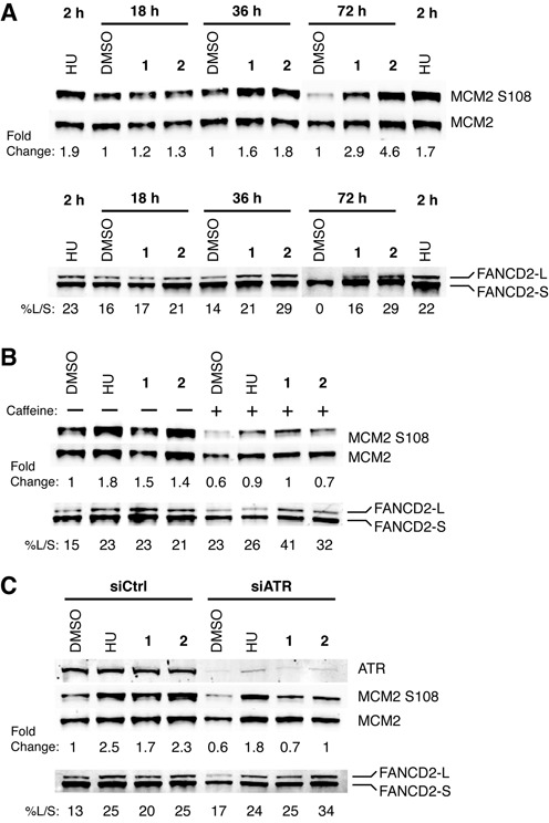 Polyamides induce phosphorylation of MCM2 and FANCD2 monoubiquitination. ( A ) MCM2 S108 phosphorylation and FANCD2 monoubiquitination levels were measured in DU145 cells treated with 4-mM HU for 2 h, and DMSO, 10-μM polyamide 1 or 1-μM polyamide 2 over a time course of 18, 36 and 72 h. Monoubiquitination was estimated by normalizing the band intensity of the large molecular weight monoubiquitinated FANCD2 band (FANCD2-L) to the low molecular weight non-ubiquitinated FANCD2 band (FANCD2-S). ( B ) MCM2 S108 phosphorylation and FANCD2-Ub levels were measured in cells treated with 4-mM HU for 2 h, and DMSO, 10-μM polyamide 1 or 1-μM polyamide 2 for 36 h with or without the addition of 2-mM caffeine. ( C ) MCM2 S108 phosphorylation and FANCD2-Ub levels were measured in cells treated with negative control or <t>ATR-targeting</t> <t>siRNA</t> for 48 h prior to the addition of 4-mM HU for 2 h, and DMSO, 10-μM polyamide 1 or 1-μM polyamide 2 for 36 h.