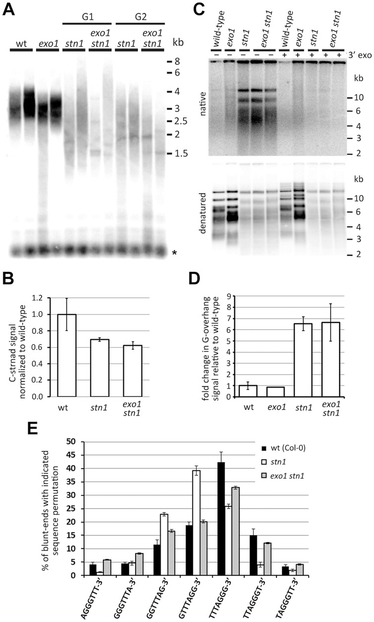 Effect of EXO1 on the structure of STN1-depleted telomeres. (A) TRF analysis; the asterisks indicate signal from interstitial telomeric DNA. (B) Quantification of the telomeric C-strand by dot-blot hybridization in G1 stn1 and G1 exo1 stn1 plants. Error bars show SDs from two independent samples; the P-value was calculated using a Student's t-test. (C) G-overhang analysis by the in gel hybridization technique. DNA samples pretreated with T4 DNA polymerase to remove 3′G-overhangs are indicated (3′ exo). The gels were first hybridized under nondenaturing conditions (top panels) and then denatured and hybridized again (bottom panels). (D) Quantification of G-overhang signals from a native gel. Error bars represent SDs from three (wt) and four ( stn1 ; stn1 exo1 ) independent samples. (E) Frequency of telomeric sequence permutations forming the termini of blunt-ended telomeres. Error bars indicate SDs from five (wild-type) or four ( stn1 , exo stn1 ) biological replicates. Wild-type data are from [31] .