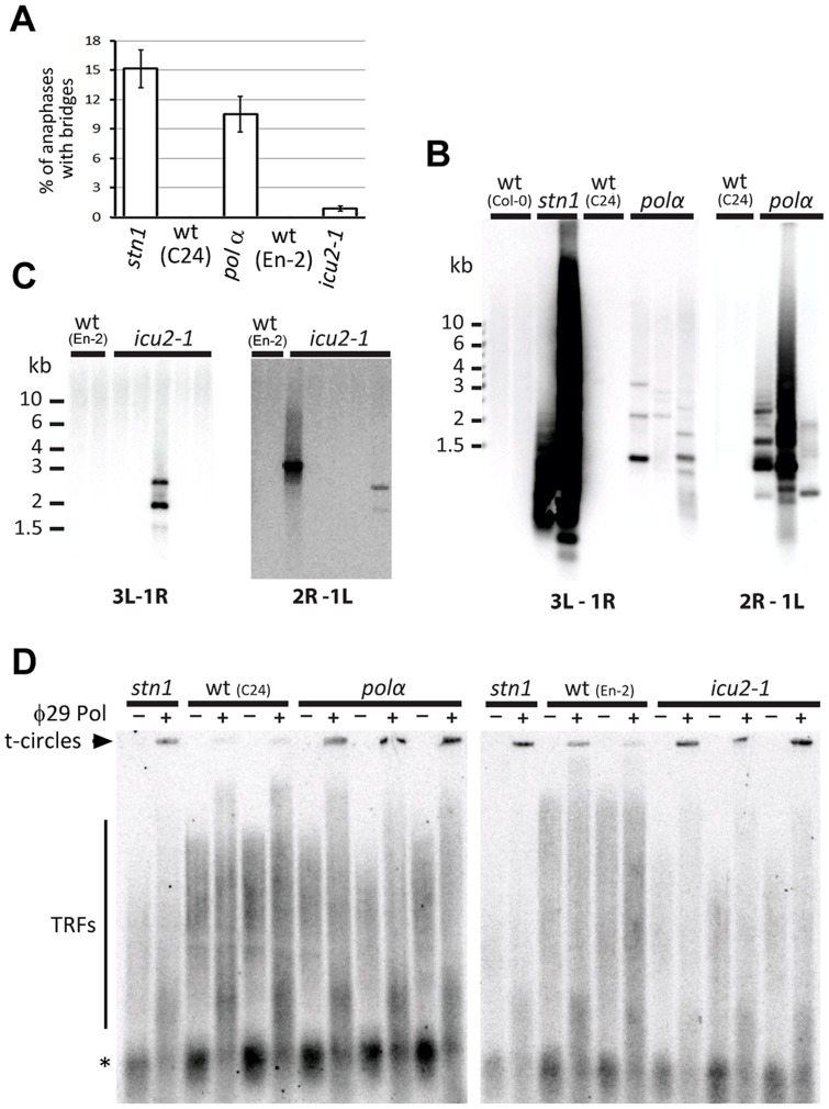 Impaired function of DNA polymerase α results in telomere deprotection. (A) Frequency of anaphases with bridges in floral tissues. (B,C) Amplification of chromosome end-to-end fusions by PCR in pol α and icu2-1 mutants. Two combinations of subtelomeric primers specific for different chromosome arms (3L+1R and 2R+1L) were used. PCR products were detected by Southern hybridization with a telomeric probe. (D) Increased level of t-circles in pol α and icu2-1 mutants measured by TCA. Signals from t-circles (arrowhead), TRFs, and interstitial telomeric DNA (asterisks) are indicated.