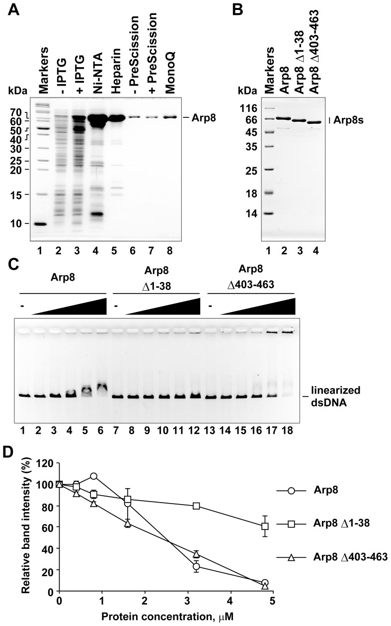 Double-stranded DNA binding activity of purified human Arp8 and its mutants. (A) Purification of human Arp8. Protein fractions from each purification step were analyzed by SDS-PAGE (gel was stained with Coomassie Brilliant Blue). Lane 1, molecular weight markers. Lanes 2 and 3, whole cell lysates before and after induction with IPTG, respectively. Lanes 4 and 5, peak fractions from Ni-NTA agarose and Heparin Sepharose columns, respectively. Lanes 6 and 7, Heparin Sepharose fraction before and after treatment with PreScission protease (removal of His6 tag). Lane 8, peak fraction from MonoQ column. (B) Purified wild-type and deletion mutants (deletants) of Arp8. Lane 1, molecular weight markers. Lanes 2–4, purified Arp8, Arp8 Δ1–38 (N-terminal deletion), and Arp8 Δ403–463 (insertion IV deletion), respectively. (C) dsDNA binding activities of Arp8 and its deletants. Bindings of Arp8 (lanes 2–6), Arp8 Δ1–38 (lanes 8–12), and Arp8 Δ403–463 (lanes 14–18) to linearized φX174 were examined at various protein concentrations: 0 µM (lanes 1, 7, and 13), 0.4 µM (lanes 2, 8, and 14), 0.8 µM (lanes 3, 9, and 15), 1.6 µM (lanes 4, 10, and 16), 3.2 µM (lanes 5, 11, and 17), and 4.8 µM (lanes 6, 12, and 18). (D)Intensity of the unbound DNA in each lane of panel C was quantified and then plotted as relative intensity (%) with respect to that of the unbound DNA from the control (no protein added control) lane.