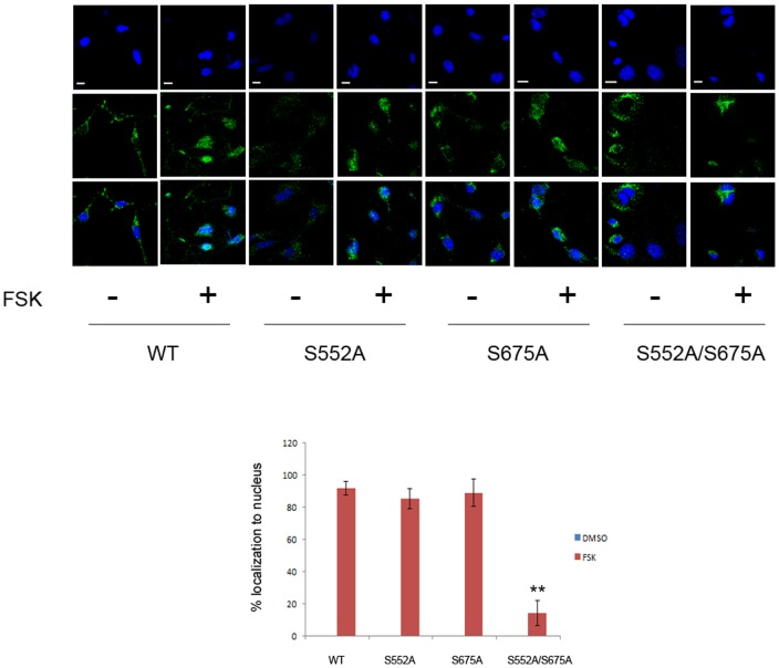 Mutation of phosphorylation sites affects nuclear localization of β-catenin. MC3T3-E1 cells were transfected with WT or mutated FLAG-tagged β-catenin constructs, treated with vehicle or forskolin for 6 h and then subjected to confocal microscopy with anti-FLAG antibodies. The bar graph shows the quantification of immunofluorescence data. 30-40 fields were counted for each transfection, yielding 70–100 transfected cells for each condition. Note that very little nuclear localization (