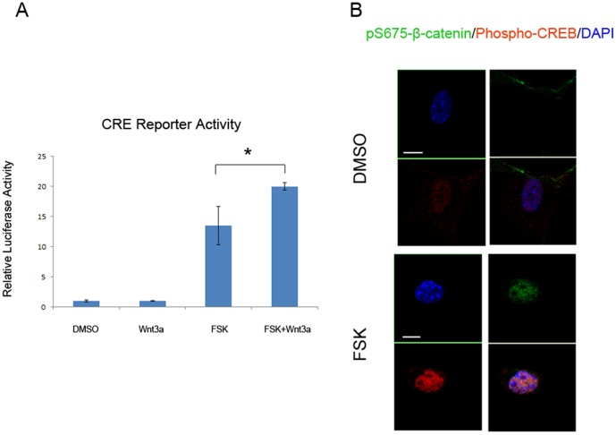 CREB and β-catenin cooperation promotes cAMP-dependent transcription. A. MC3T3-E1 cells were transfected with a cAMP responsive element luciferase construct. Luciferase assay was performed following stimulation of vehicle, FSK, or Wnt3a (100 ng/ml) as indicated (* P
