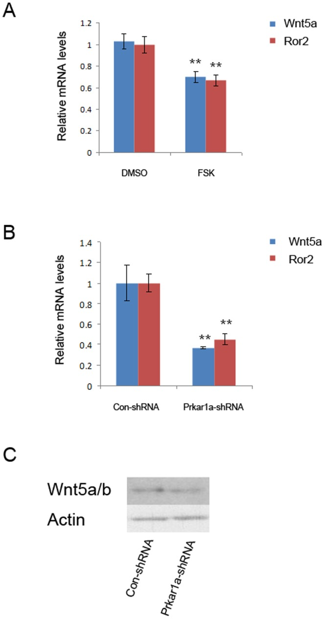 PKA activation represses Wnt5a/Ror2 pathway. A. and B. mRNA expression of Wnt5a and Ror2 was determined using QPCR analysis in MC3T3-E1 cells treated with FSK (A) or with Prkar1a knockdown (B) (** P