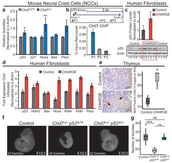 p53 is Activated Upon Chd7 Deficiency and Contributes to Chd7 -null Phenotypes (a) p53 target gene expression in Chd7 +/+ and Chd7 −/− ( whi/whi ) NCCs. Averages+/−s.e.m. normalized to β-actin (n=5). *,**p-values