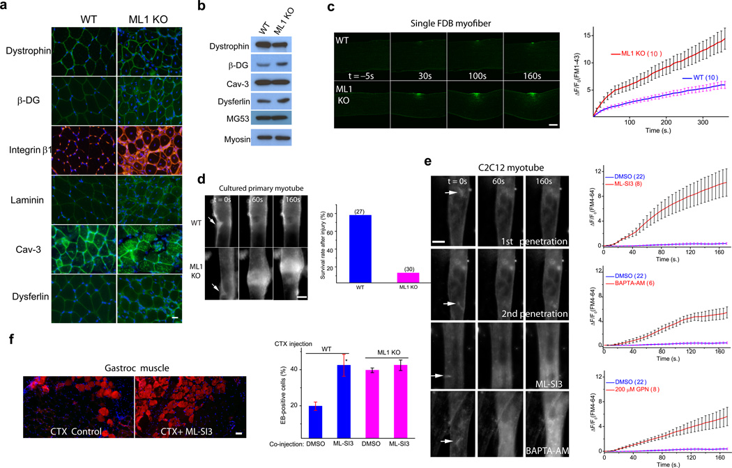"""Defective membrane repair capacity in ML1 KO muscle (a) Immunofluorescence of dystrophin, β-dystroglycan (β-DG), integrin β1, laminin, caveolin-3 (Cav-3), and dysferlin in ML1-null Gastroc muscle. Scale bar = 10 µm. (b) Western blotting analysis of the DGC components, Cav-3, dysferlin, and MG53 in ML1 KO mice. Myosin served as a loading control. (c) A membrane repair assay performed on single FDB muscle fibers isolated from WT and ML1 KO mice. Membrane damage was induced with a two-photon laser at t = 0 s. Scale bar = 10 µm. The right panel shows the time-dependent changes (ΔF) in <t>FM1–43</t> fluorescence intensity normalized to the basal fluorescence (F 0 ) for WT (blue) and ML1 KO (red) fibers. (d) Representative images of in vitro differentiated myotubes in response to mechanical damage elicited by a microelectrode (arrows). The lower panel shows the percentage of """"surviving"""" myotubes in response to microelectrode penetration. The experiments were performed in the presence of extracellular Ca 2+ , and defective membrane resealing led to excessive Ca 2+ influx that triggered prolonged muscle contraction. The """"surviving"""" cells are those without prolonged contraction. Scale bar = 50 µm. (e) Responses of C2C12-derived myotubes to microelectrode penetration in Tyrode's solution (2 mM Ca 2+ ) in the presence of DMSO (0.1%; 1 st and 2 nd penetration), ML-SI3 (20 µM), BAPTA-AM (20 µM), and GPN (200 µM). The right panels show the time course of FM4–64 accumulation (ΔF/F 0 ) at injury sites following microelectrode penetration. Scale bar = 50 µm. Note that the same set of DMSO control data was compared with all groups of drug treatment. (f) The effect of ML-SI3, a TRPML-specific synthetic inhibitor, on EB dye uptake in WT Gastroc muscles injected with the cardiotoxin VII4 (CTX), a cytolytic toxin that disrupts cell membrane in living animals 24 . The lower panel shows that intramuscular coinjection of ML-SI3 with CTX on EB dye uptake in WT and ML1 KO muscle. Scale bar = """