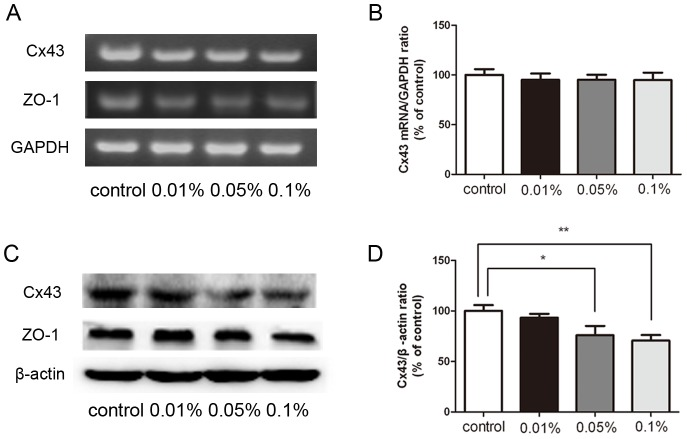 Effect of BAK treatment on Cx43 and ZO-1 expression. The significant decrease of Cx43 protein was induced by topical application of BAK at the concentration of 0.05% and 0.1% (C, D). In comparison, there was no significant decrease of Cx43 and ZO-1 mRNA in BAK treated group (A, B). Similarly, the expression of ZO-1 protein was consistent with mRNA level of ZO-1. Quantitative analysis of Cx43 mRNA and protein in corneal endothelium was shown in (B) and (D) respectively. Data are means ± SE from three independent experiments. *P value