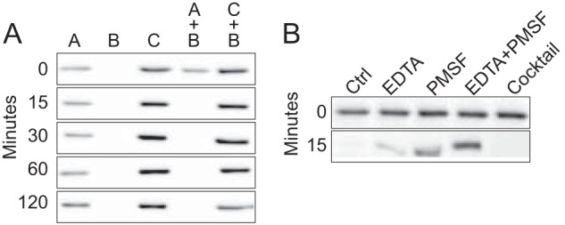 Apocatalase polypeptide proteolysis is induced in late exponential growth phase E. faecalis cells. A , lysates from strain OG1RF cells grown in heme-free medium until early exponential growth phase ( sample A ) or late exponential growth phase ( sample B ) and lysates from cells grown in heme-supplemented medium until late exponential growth phase ( sample C ) were analyzed individually or as mixtures as indicated. The samples were incubated at 37 °C, and the presence of KatA polypeptide in aliquots removed at the indicated time points was determined by immuno-blot. B , proteolysis of KatA in sample A mixed with sample B in the presence of 1 m m <t>PMSF</t> and/or <t>EDTA</t> or Complete EDTA-free protease inhibitor cocktail. The reference, sample A + B without any additions, is indicated by Ctrl .