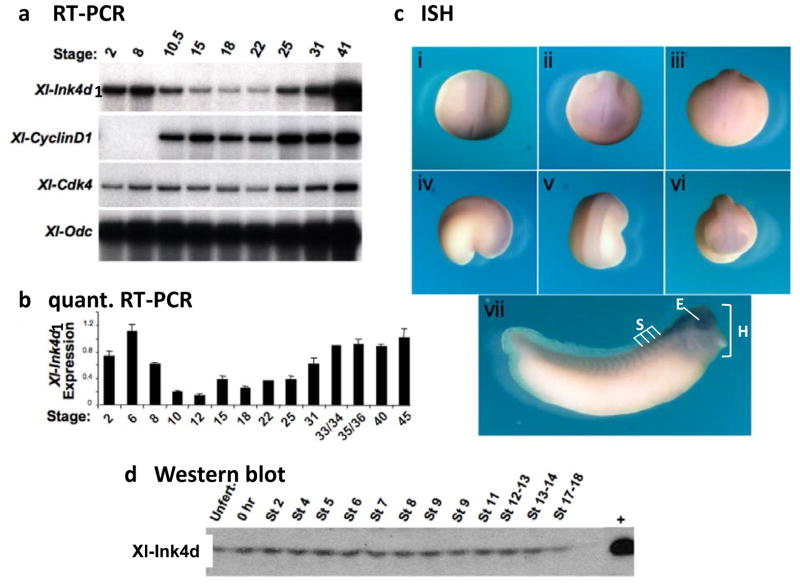 Expression of Xl -Ink4d during Xenopus laevis development. Embryos were staged according Xenopus laevis normal tables of development [ 27 ] and RNA was harvested at the indicated stages. (a) Reverse transcription PCR was performed on total RNA from staged embryos to amplify Xl-Ink4d1 , cyclin-D1 , Cdk4 and ODC transcripts. Trace [α 32 P]-dCTP was added to the reactions and the PCR products were separated by gel electrophoresis. (b) Relative quantitative real-time PCR analysis of Xl-Ink4d1 mRNA levels was performed using iQ SYBR Green Supermix (Bio-Rad), run and detected using an iCycler thermocycler (Bio-Rad). (c) In situ hybridization (ISH) for Xl-Ink4d1 expression during early embryonic development. Xl-Ink4d1 expression is detected at low levels in the dorsal anterior region of the developing tadpole. Stage 19 (i–iii); (i) dorsal view, (ii) anterior view, (iii) posterior view. Stage 22 (iv–vi); (iv) lateral view, (v) dorsal view, (vi) anterior view. Stage 32 (vii), trunk somites (S), eye (E) and head (H). (d) Immunoblotting of Xl- Ink4d from whole embryo lysates at the indicated stages using a polyclonal antibody directed against the C -terminus of the protein. Embryos microinjected with synthesized Xl-Ink4d1 mRNA were harvested and run as a positive control (+).