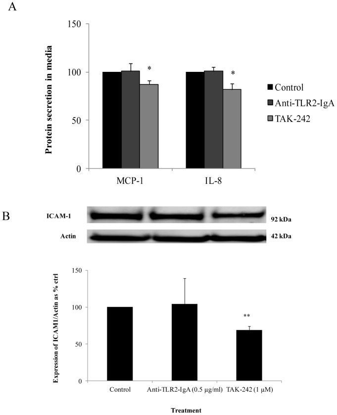 Effect of anti-TLR2-IgA or TAK-242 on inflammatory cytokines and cell adhesion molecules. (A) With exposure to TLR2 neutralizing antibody in control media, there was no reduction in MCP-1 and IL-8 expression however with exposure to TAK-242 in control media, there was a suppression in MCP-1 and IL-8 expression (B) With exposure to TLR2 neutralizing antibody in control media, there was no reduction in ICAM-1 expression but TAK-242 suppressed ICAM-1 expression. Normalized results are expressed as mean ± SEM, n = 3. **P