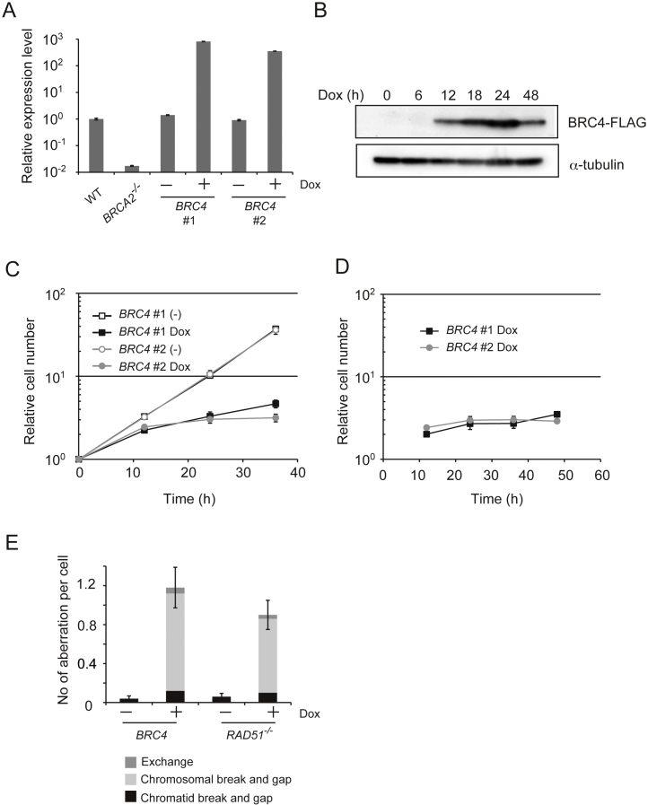 High levels of BRC4 cause cytotoxicity. (A) Relative BRC4 expression level measured by quantitative polymerase chain reaction <t>(qPCR).</t> WT, BRCA2 −/− (negative control), and individually obtained 2 clones of BRC4 cells (WT + BRC4 (Tet-On) cells) were incubated in the presence or absence of Dox for 12 h when RNA was isolated and converted to cDNA. The cDNA was amplified with <t>GoTaq</t> ® qPCR Master Mix. (B) Expression of the BRC4–FLAG peptide. Whole cell lysates were prepared from BRC4 #1 cells cultured in the presence of Dox for the indicated times. BRC4–FLAG and α-tubulin (loading control) were detected by Western blotting. (C) Growth curves. Individually obtained 2 clones of BRC4 cells (1 × 10 5 ) were inoculated in 1 ml of medium and passaged every 12 h. Dox was added at time 0. (D) Growth curves of mCherry positive cells. The number of cells expressing mCherry was counted every 12 h. (E) Number of chromosomal aberrations in RAD51 −/− cells expressing hsRAD51 from a Tet-inducible promoter and in BRC4 cells after treatment with Dox for 18 h ( RAD51 −/− + hsRAD51 cells) or for 24 h ( BRC4 cells).