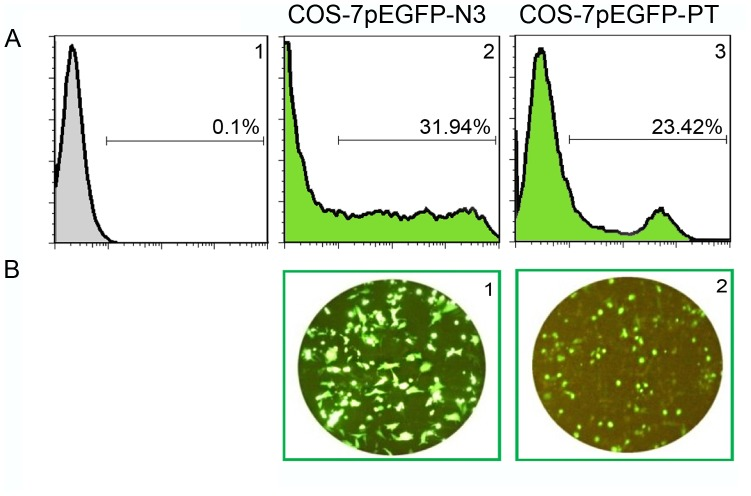 In-vitro evaluation of polytope expression using COS-7 cells. Recombinant pEFGP-PT was transiently transfected into COS-7 cells by means of linear <t>Polyethylenimine</t> 25 KDa. A1 represents COS-7 cells without any transfection, A2 represents COS-7 cells transfected with pEGFP-N3 as positive control and A3 represents COS-7 cells transfected with pEGFP-PT. Panel B represents the corresponding microscopic feature of each condition, B1 represents positive control and B2 represents COS-7 cells transfected with pEGFP-PT after 24 hours.