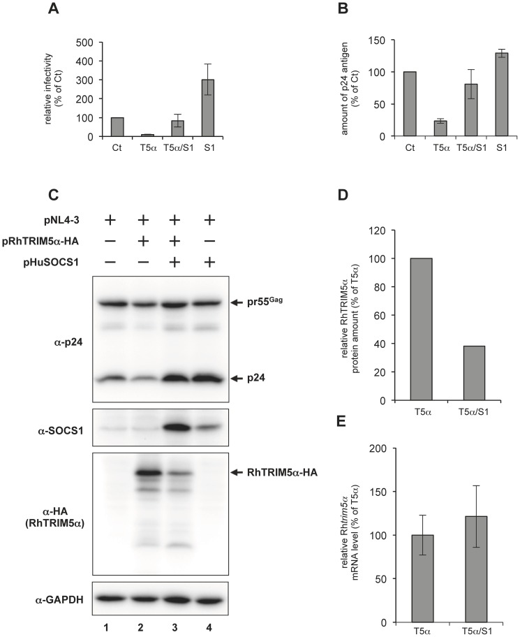 SOCS1 reverses RhTRIM5α-mediated late restriction of HIV-1 replication. (A) HEK293T cells were transfected with 0.1 µg of pNL4-3 and with or without 0.6 µg of pHuSOCS1 (S1) and/or 0.3 µg of pRhTRIM5α-HA (T5α). Ct represents transfection with the control vectors. T5α/S1 indicates that S1 and T5α were co-transfected besides pNL4-3. The total amount of plasmids transfected was adjusted to 1.0 µg per sample with pcDNA3.1. Two days post-transfection, relative viral titer in the supernatants was analyzed with TZM-bl indicator cells. Average of results from four independent experiments is shown with standard deviation. (B) The amount of p24 antigen in the supernatants was quantified with p24-specific ELISA. Data were obtained from the same experimental sets shown in panel A. (C) Twenty-four μg of whole cell lysates were subjected to immnoblot analyses with anti-HIV-1 p24, anti-HA (RhTRIM5α-HA), anti-SOCS1 and anti-GAPDH antibodies. (D) Relative RhTRIM5α protein expression level was determined by densitometry analysis in panel (C). The band intensity for T5α was arbitrarily set as 100%. (E) Relative Rh trim5α mRNA expression determined by quantitative RT-PCR. The value for T5α was arbitrarily set as 100%. The results are shown as an average obtained in four independent experiments with standard deviation.