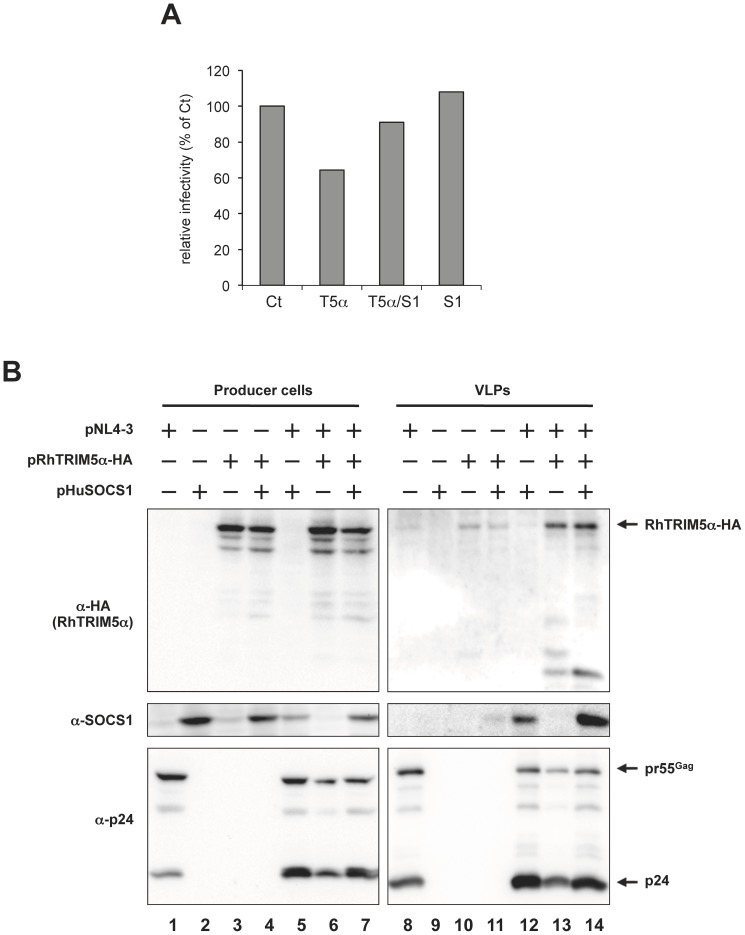 SOCS1 is detected in purified HIV-1 VLPs. HEK293T cells were co-transfected with 2.4 µg of pNL4-3, 2.4 µg of pRhTRIM5α-HA and 2.4 µg of pHuSOCS1. The total amount of plasmids transfected was adjusted to 7.2 µg per sample with pcDNA3.1. (A) Relative viral titer in the supernatants was analyzed with TZM-bl indicator cells two days post-transfection. The titer of virus produced in the absence of RhTRIM5α and SOCS1 (Ct) was arbitrarily set as 100%. S1, T5α or T5α/S1 indicate virions produced in the presence of SOCS1 alone, RhTRIM5α-HA alone or both RhTRIM5α-HA and SOCS1, respectively. Producer cell lysates (B, left panels) and purified HIV-1 VLPs purified through a 20% sucrose layer (B, right panels) were subjected to immunoblot analysis. Proteins were detected with anti-HA (RhTRIM5α-HA, top panels), anti-SOCS1 (middle panels) and anti-HIV-1 p24 (bottom panels) antibodies.