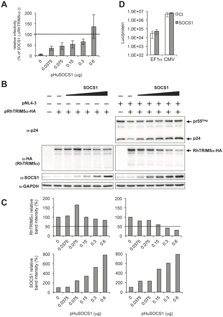 SOCS1 affects RhTRIM5α expression in a dose-dependent manner. HEK293T cells were co-transfected with 0.1 µg of pNL4-3 or pUC18 with increasing amounts of pHuSOCS1 (0, 0.0375, 0.075, 0.15, 0.3 and 0.6 µg) and with or without 0.3 µg of pRhTRIM5α-HA. The amount of plasmid DNA was adjusted to 1.0 µg with pcDNA3.1. Two days post-transfection, viral titer in the culture supernatants was analyzed with TZM-bl indicator cells. (A) Relative viral titer obtained without exogenous SOCS1 and RhTRIM5α was arbitrarily set as 100%. The results are shown as an average of three independent experiments with standard deviation. (B) Whole cell lysates in panel (A) were subjected to immunoblot analyses with anti-HIV-1 p24, anti-HA (RhTRIM5α-HA), anti-SOCS1 and anti-GAPDH antibodies. (C) Relative band intensities of RhTRIM5α and SOCS1 in panel (B) were normalized with that of GAPDH. The normalized band intensity of RhTRIM5α (upper panels) in the absence of SOCS1 and that of SOCS1 (lower panels) without exogenous SOCS1 were arbitrarily set as 100%. (D) Effect of SOCS1 expression on transcriptional activity. HEK293T cell were co-transfected with 0.05 µg of pGL4.84-EF1α-hRlucCP (EF1α) or pcDNA3.1-Luc (CMV) together with 0.45 µg of pcDNA3.1 or pHuSOCS1. The amount of plasmid DNA was adjusted to 0.5 µg with pcDNA3.1. Two days after transfection, luciferase activity was determined and normalized with protein concentration (Luc/protein). The results are shown as an average of three independent experiments with standard deviation.