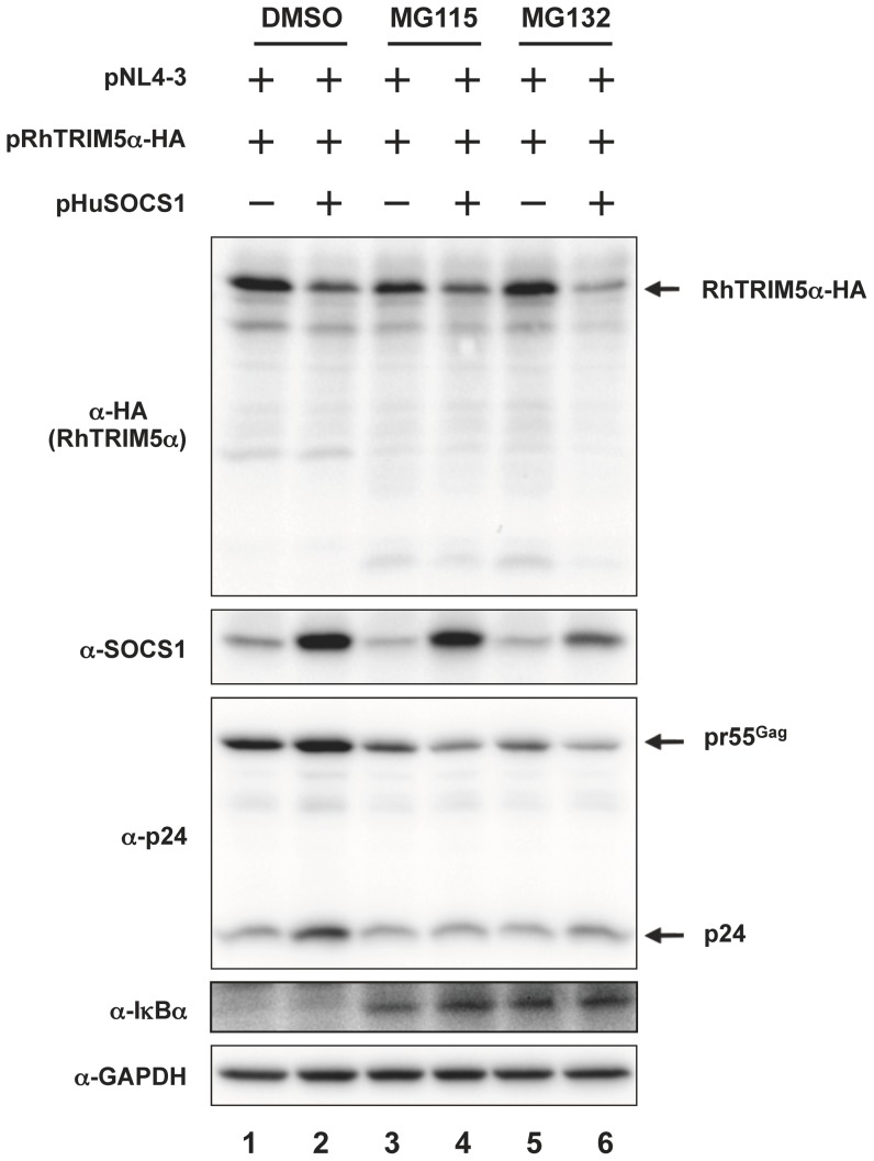 Reduction of RhTRIM5α by SOCS1 is proteasome-independent. HEK293T cells were transfected with 0.1 µg of pNL4-3, 0.3 µg of pRhTRIM5α-HA with or without 0.6 µg of pHuSOCS1. The total amount of plasmids transfected was adjusted to 1.0 µg per sample with pcDNA3.1. Twenty-four hours after transfection, cells were treated with 30 µM of MG115 (lanes 3 and 4) or 30 µM of MG132 (lanes 5 and 6) for 16 hours. Whole cell lysates were subjected to immunoblot analyses with anti-HA (RhTRIM5α-HA, top panel), anti-SOCS1 (middle panel), anti-IκBα and anti-GAPDH (as loading control, bottom panel) antibodies.
