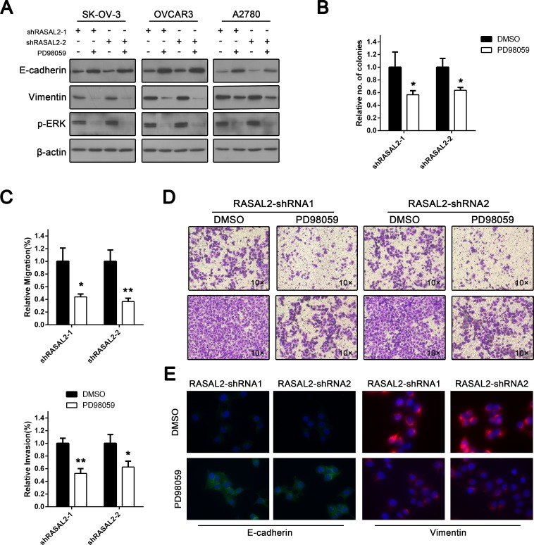 Tumor suppressor role of RASAL2 is Ras-ERK pathway-dependent To explore the functional effects of the Ras-ERK pathway following RASAL2 depletion, SK-OV-3, OVCAR3 and A2780 cells infected with shRASAL2-1 or -2 shRNA were treated with either the ERK pathway inhibitor PD98059 (10 μg/μl) or DMSO. (A) Western blot analysis of p-ERK, E-cadherin and vimentin expression following ERK inhibition. (B) SK-OV-3 cells expressing shRASAL2-1 or-2 shRNA were treated with PD98059 (10 μg/μl) or DMSO. Then, an anchorage-independent growth assay was performed. The graph indicates the relative number of colonies ± SD (n = 3). (C) Cell migration or invasion assays were also conducted on RASAL2 knockdown SK-OV-3 cells treated with either PD98059 or DMSO. All the data were normalized to the results of cells transfected with scramble-shRNA. The data are shown as the means ± SD (n = 3). (D) Representative graphs of SK-OV-3 cells in migration or invasion assays. (E) Immunofluorescence assay for the expression of E-cadherin or vimentin in RASAL2 knockdown SK-OV-3 cells treated with either PD98059 or DMSO. *, P