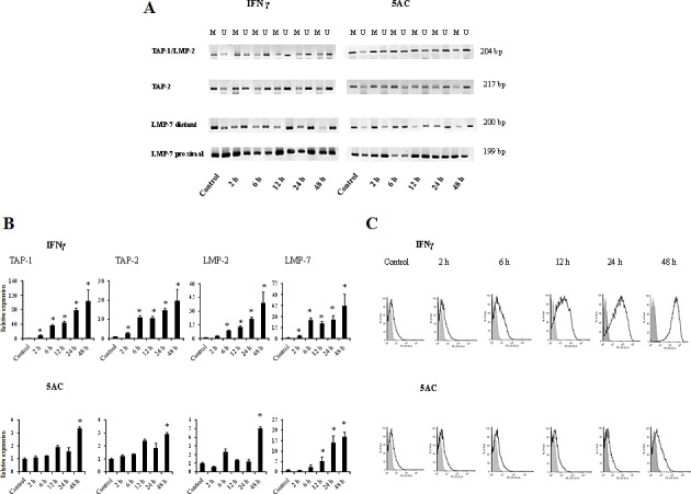 Comparative analysis of the kinetics of DNA demethylation of the APM genes induced by IFNγ or 5AC TC-1/A9 cells were cultured in the presence of either IFNγ or 5AC. For the indicated time periods, DNA samples were isolated, bisulphite treated and subjected to MSP analysis of the TAP-1, TAP-2 , LMP-2 LMP-7 promoter sequences. U = unmethylated primer, M = methylated. In untreated cells, the core CpG island was highly methylated, and demethylation was detected within 2 hours after the IFNγ treatment, while nearly complete demethylation was evident by 6 hours (A). After 5AC treatment, strong demethylation was evident by 24 hours (A). The amount of 1 μg of RNA was reverse transcribed to cDNA and the PCR products were quantified. Upregulation of APM genes in TC-1/A9 cells after the treatment with IFNγ after 2 hours (A) and with 5AC after 48 hour (B). * denote significant changes (P