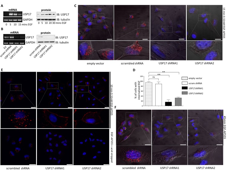 (a) HeLa cells were starved in serum free medium for 3 hrs prior to incubation with 0.32 nM EGF Alexa Fluor 555 and mRNA and protein samples were harvested at the time points indicated. USP17 and GAPDH (loading control) mRNA were then assessed by RT-PCR. USP17 protein levels were assessed by immunoblotting and tubulin was used as a loading control. (b) HeLa cells were transfected as indicated. 72 hrs post transfection mRNA and protein samples were harvested and USP17 mRNA and protein levels assessed as above. (c) HeLa cells were transfected with the constructs indicated. 72 hrs post transfection the cells were starved in serum free medium for 3 hrs prior to incubation with 0.32 nM EGF Alexa Fluor 555. After 15 min the cells were acid washed, fixed and the nuclei were stained with DAPI. EGF Alexa Fluor 555 (red) internalisation was then assessed in brightfield and fluorescent images taken using confocal microscopy. The bottom panels are enlarged images of the indicated area in the top panels. Scale bar = 20 μm. (d) At least 50 cells per condition were blindly scored for three separate experiments based on the presence of EGF Alexa Fluor 555 internalisation. (e) A549 cells were transfected as indicated and 72 hrs post transfection the cells were starved in serum free medium for 3hrs prior to incubation with 0.32nM EGF Alexa Fluor 555. After 10 mins the cells were either acid washed or washed with PBS. Subsequently they were fixed and the nuclei were stained with DAPI. EGF Alexa Fluor 555 (red) internalisation was then assessed in brightfield and fluorescent images taken using confocal microscopy. The middle panels are enlarged images of the indicated area in the upper panels. Scale bar = 25 μm. (f) HeLa cells were transfected as indicated and 72 hrs post transfection the cells were starved in serum free medium for 3 hrs prior to incubation with 0.32nM EGF Alexa Fluor 555. After 45 mins the cells were acid washed, fixed and the nuclei were stained with DAPI. EGF Alexa 