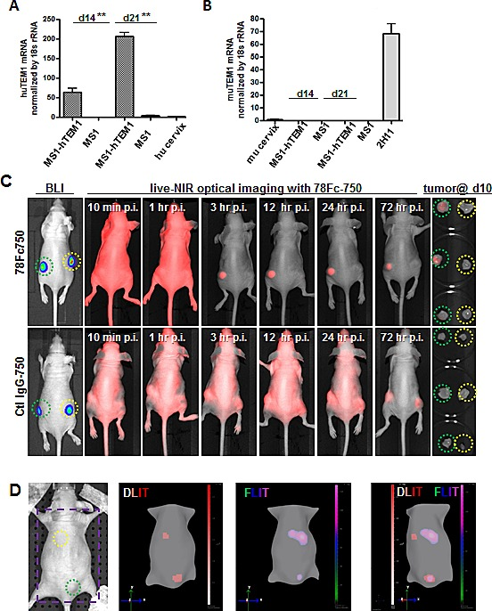78Fc as an NIR optical imaging tracer in the human TEM1-expressing tumor vascular model Human (A) and mouse TEM1 mRNA (B) expression in control and hTEM1 expressing tumor grafts. TEM1 mRNA levels were evaluated with <t>qRT-PCR.</t> TEM1 expression in normal human or murine cervix was normalized to 1. 10 7 MS1-huTEM1 or control MS1 cells were injected subcutaneously into nude mice on the left or right flanks, respectively (n=3), and tumor grafts were harvested after the indicated time (2-3 weeks). huTEM1-positive tumor grafts express muTEM1 at similar levels to that of control tumor grafts. C, in vivo bioluminescence imaging (BLI) and 78Fc750- or IgG-750-based live NIR optical imaging in huTEM1-positive and control tumor grafts (n=3 per group). Green circle, MS1-TEM1 tumor; yellow circle, MS1 control tumor. D (Also in Sup videos ), 78Fc750 BLI and NIR tomographic imaging in mice grafted with MS1-huTEM1 (lower) and MS1 (upper) in nude mice. Bioluminescent signals overlap with infrared signals only in the huTEM1-positive tumors. From left, picture (area inside the purple square is used for 3D dual modality imaging to regenerate mice surface), 3D reconstructions of bioluminescence (DLIT) and NIR fluorescence (FLIT); superimposed DLIT with FLIT. n=5.