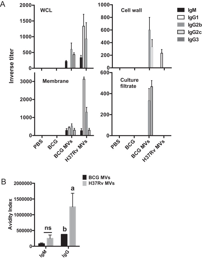 "Immunogenicity of mycobacterial vesicles. (A) Inverse titers of M. tuberculosis H37Rv-specific antibodies measured by ELISA in serum from C57BL/6 mice (3 per group) immunized with 2.5 µg of BCG or H37Rv MV using a subcutaneous route of injection or 2 × 10 6 BCG bacilli using the same route after 6 weeks. ELISA was performed on plates coated with 20 µg ml −1 of the indicated mycobacterial subcellular fraction (H37Rv). WCL, whole-cell lysate. (B) Avidity index was determined by titrating ammonium thiocyanate onto plasma total <t>IgG</t> and IgM. Data labeled ""a"" are statistically significantly different [ P"