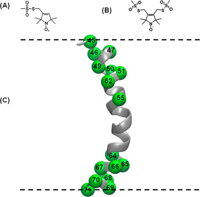 Schematic representation of spin-labeling probes and sites. (A) MTSL, (B) BSL, and (C) ribbon model of transmembrane domain of KCNE1 (PDB ID: 2k21) highlighting representative sites used in this study with spheres at their α-carbons. All spin-labeling sites are located inside the membrane. The dashed lines represent the lipid bilayer interfaces. Spin-labeling sites 45 and 71 are at the termini of the transmembrane domain that spans the membrane bilayers.