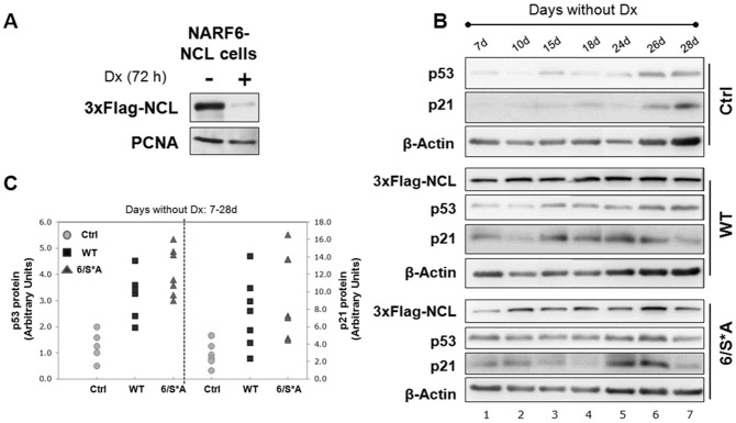 NARF6-NCL clones with inducible NCL (WT or 6/S*A) expression. (A) Western blot of a representative clone that expresses 3xFlag-NCL under Tet-off promoter in NARF6 cells (derived from U2OS). (B) Western blot analyses for cells grown without Dx for the indicated period showing inducible NCL-expression (WT or 6/S*A). Both WT and 6/S*A led to a net increase in p53 protein levels and corresponding p21 protein levels -the downstream target of p53. (C) Plots of p53 and p21 protein levels shown in 2B. The quantification was done by NIH Image J software. Values were first corrected for the β-actin levels and then compared to Ctrl (no exogenous NCL, no Dx day 7) cells. The graph is representative of at least three independent experiments.