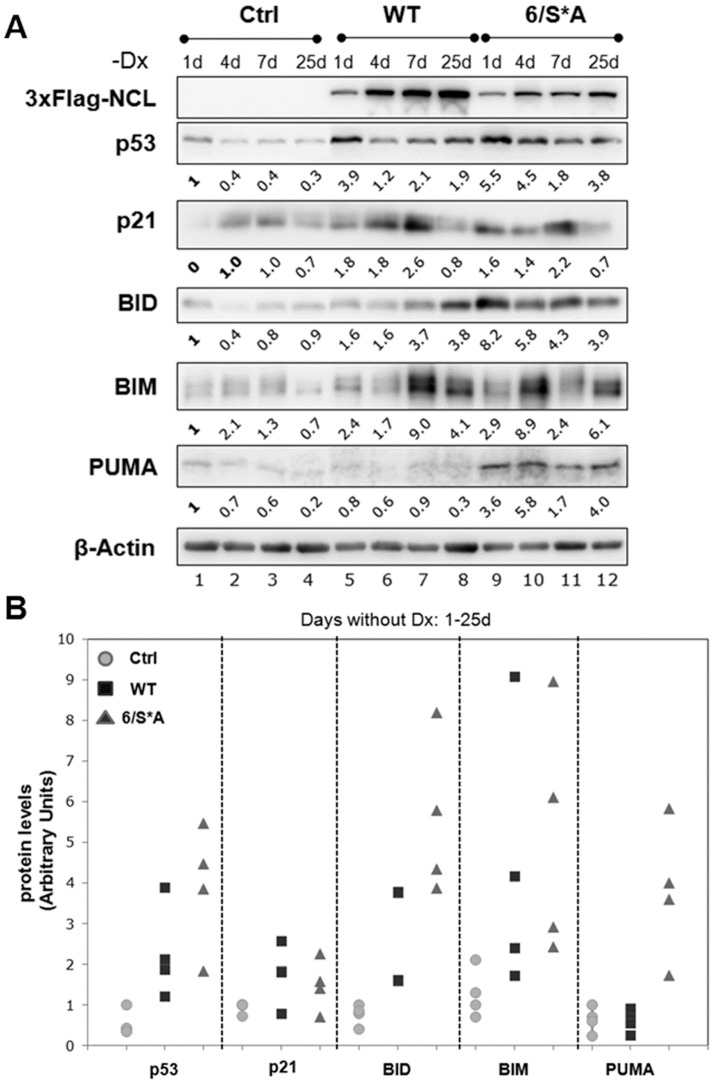NCL-6/S*A expression results in an increased expression of apoptotic markers downstream the p53 pathway. (A) Western blot analyses for cells grown without Dx for the indicated period indicating inducible NCL-expression (WT or 6/S*A). Both WT and 6/S*A expression resulted in an increase in p53 and <t>p21</t> protein levels. Increased expression of BH3-only pro-apoptotic markers (BID, BIM and PUMA) were observed as early as 1 d or 4 d of induced NCL-6/S*A expression. (B) Plots of p53, p21 and BH3-only protein levels shown in 6A. The quantification was done by NIH Image J software. Values were first corrected for the β-actin levels and then compared to Ctrl (no exogenous NCL, no Dx day 1) cells. The graph is representative of at least two independent experiments.