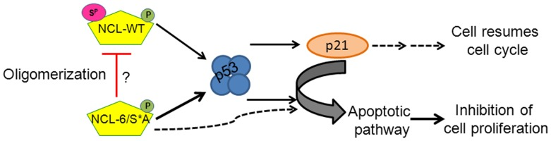 Mechanistic model by which nucleolin phosphorylation by CK2 regulates cell proliferation. NCL-WT and phosphorylation-deficient mutant (6/S*A) activate p53 checkpoint and increase corresponding p21 levels. However, NCL-WT expression allows cells through S-phase progression and resumes cell cycle. On the other hand, NCL-6/S*A acts as a dominant-negative mutant that negates NCL-WT functions possibly through oligomerization causing inhibition of cell proliferation and initiating apoptotic pathway.